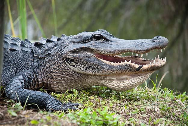 The 7 Most Dangerous Animals In North America Alligator
