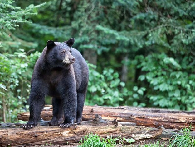 The 7 Most Dangerous Animals In North America Bear