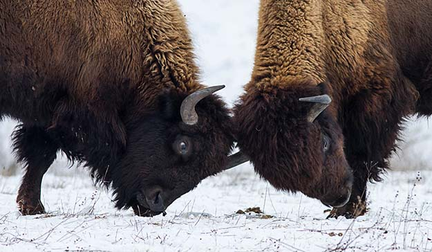 The 7 Most Dangerous Animals In North America Bison