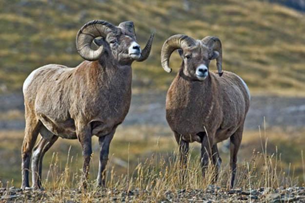 Bighorn Sheep Season | California Hunting Laws and Regulations