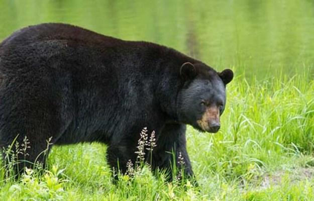 Bear Hunting Seasons in Georgia | Georgia Hunting Laws and Regulations