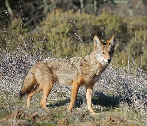 How To Get Rid Of Coyotes Debris Mound