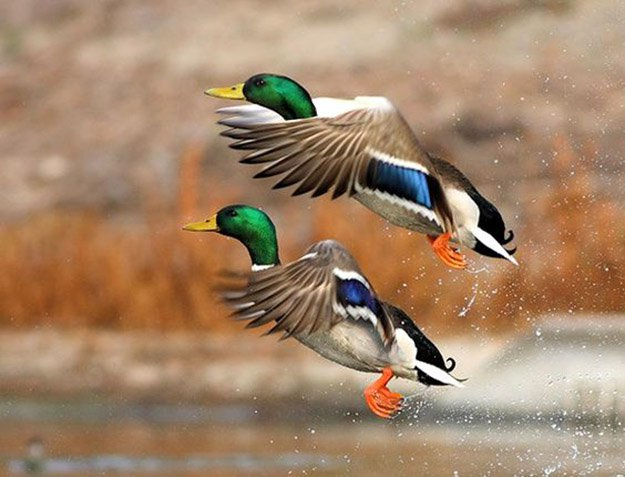 Duck Hunting in Kansas | Kansas Hunting Laws
