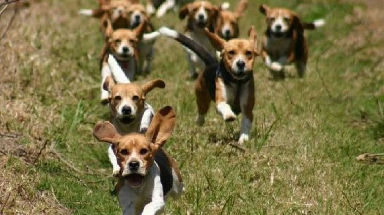 Beagle Hunting Featured Image