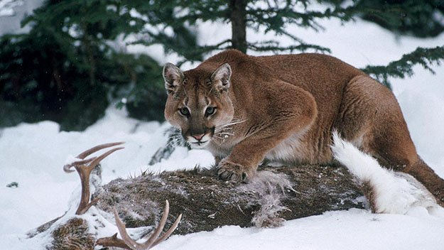 Diet | 10 Remarkable Facts About Mountain Lions