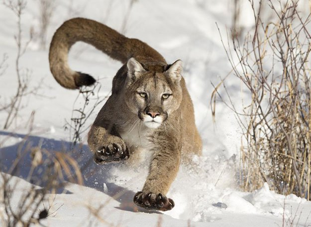 They're Faster Than You Think | 10 Remarkable Facts About Mountain Lions