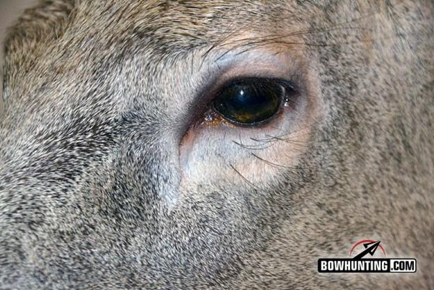 Deer have wide vision | 5 Completely Unforgettable Facts About Whitetail Deer Hunters Should Know