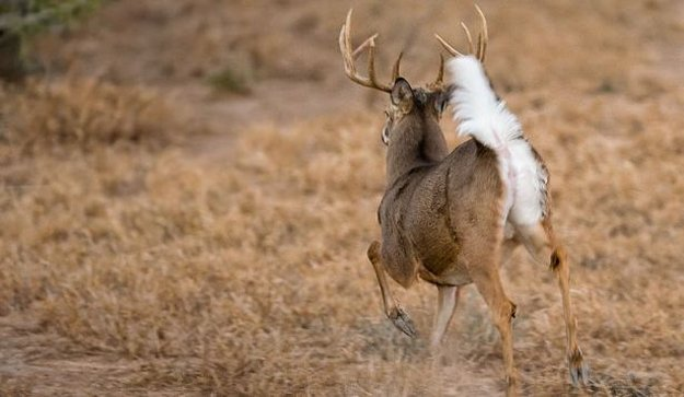 Whitetail can communicate through their tails | 5 Completely Unforgettable Facts About Whitetail Deer Hunters Should Know