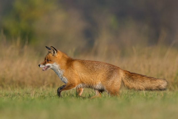 fox-running-through-grass How To Get Rid Of Foxes Without Killing Them In Winter