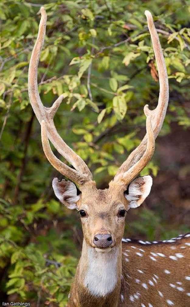 Deer Hunting Seasons in Hawaii | Hawaii Hunting Laws