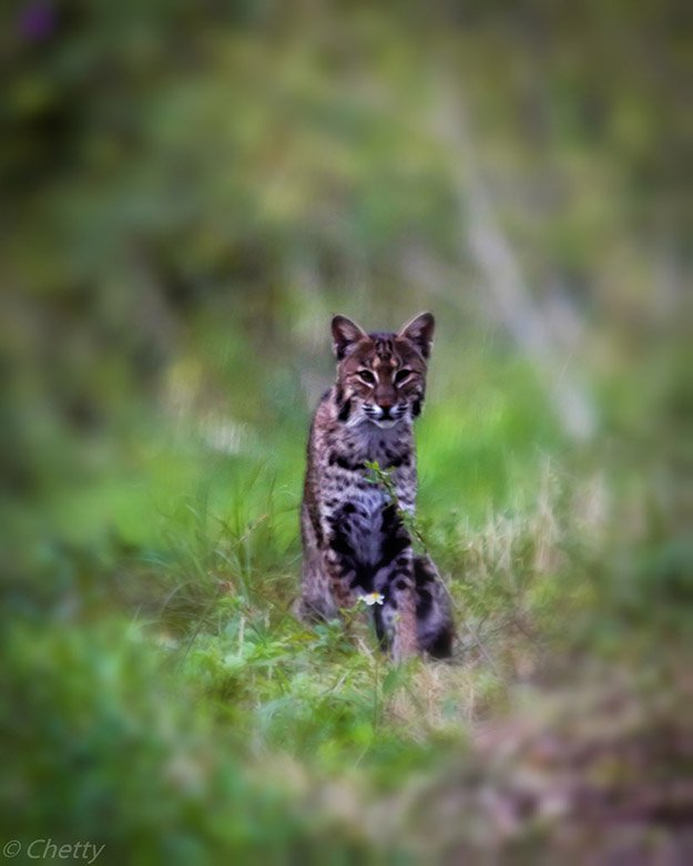 Bobcat Hunting in Maine | Maine Hunting Laws