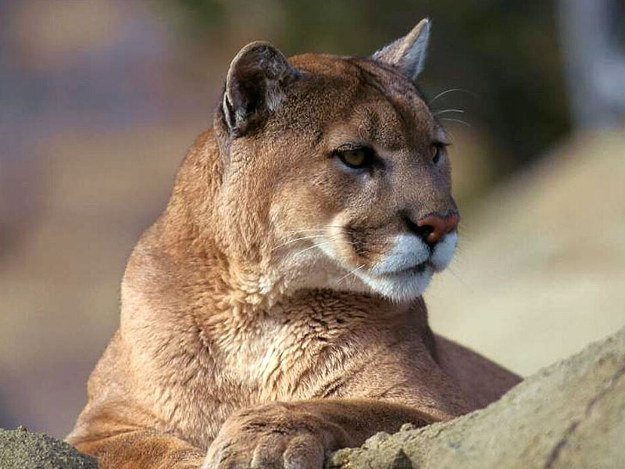 Mountain Lions | Wild Animal Attacks | What To Do When Attacked By Ferocious Beasts