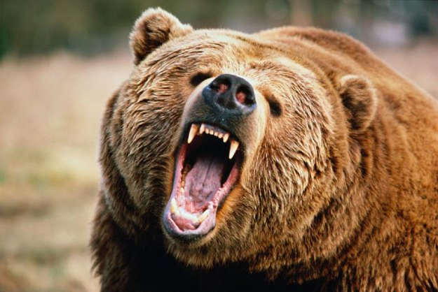 Bears   Wild Animal Attacks   What To Do When Attacked By Ferocious Beasts