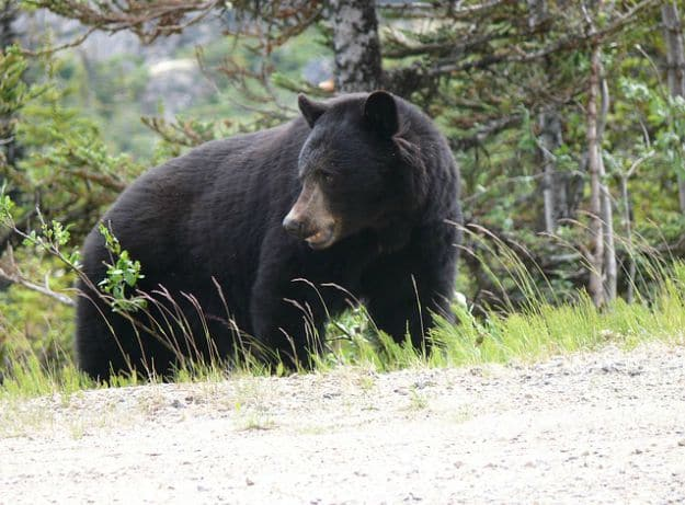 Tip #11: Take Advantage of any Bear Weaknesses | Bearly Alive - How To Survive A Bear Attack