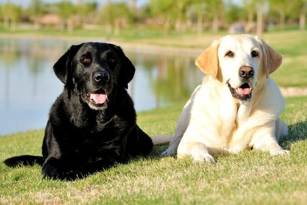 Labrador Retriever | The 10 Best Bird Hunting Dogs For All Types Of Game And Hunts