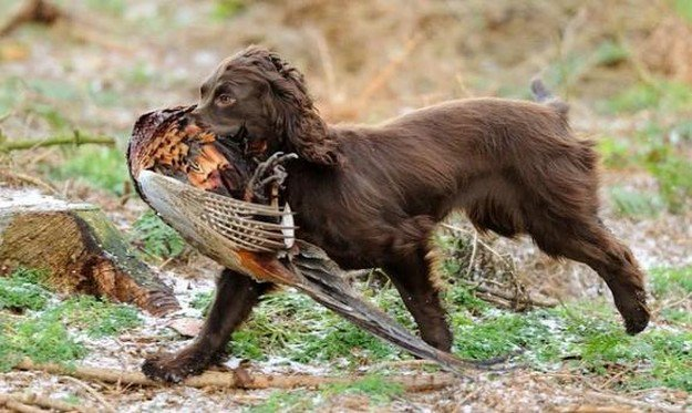 Boykin Spaniel   The 10 Best Bird Hunting Dogs For All Types Of Game And Hunts