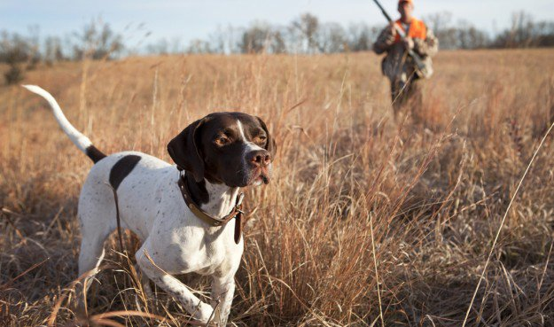 English Pointer | The 10 Best Bird Hunting Dogs For All Types Of Game And Hunts