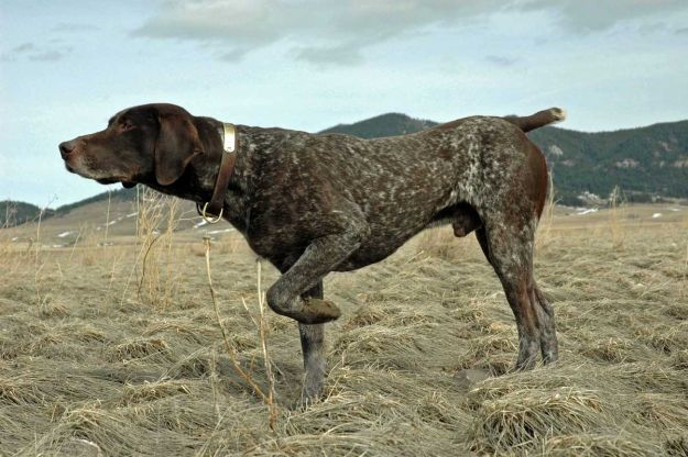 German Shorthaired Pointer   The 10 Best Bird Hunting Dogs For All Types Of Game And Hunts