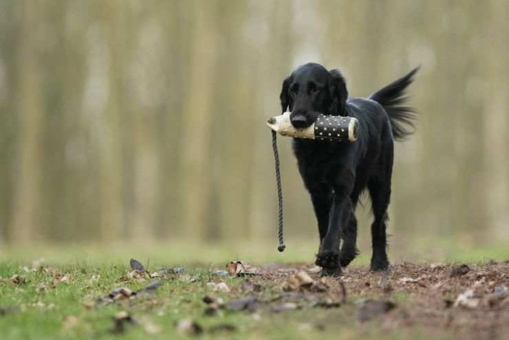 Black dog in training | Fido On The Hunt: A Complete Guide To Dog Hunting Gear