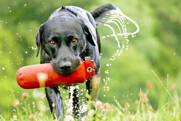 Labrador Retriever | Perfect Breeds of Hunting Dogs As Your Companion