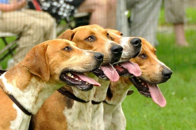 American Foxhound | Perfect Breeds of Hunting Dogs As Your Companion