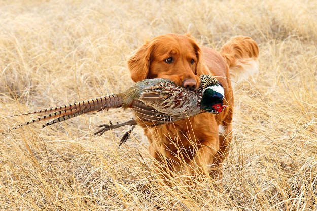 Golden Retriever | Perfect Breeds of Hunting Dogs As Your Companion