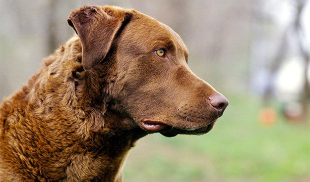 Chesapeake Bay Retriever | Perfect Breeds of Hunting Dogs As Your Companion