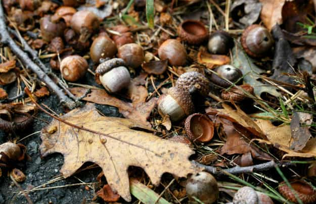 Going Nuts: A Rough and Dirty Field Guide To Foraging For Food acorns