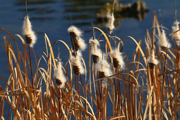 Cattail Seed Heads | Cattails Survival Uses