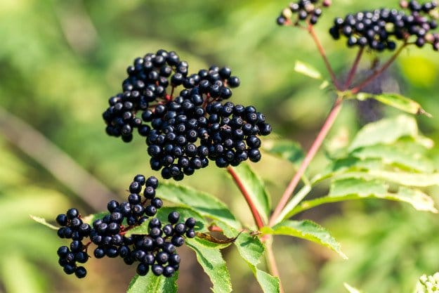 elderberry | Triple A's of Nature's Medicine: Antiviral ~ Antibacterial~ Antibiotic
