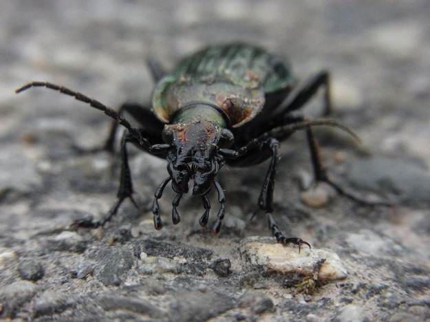 Ground Beetles   Beneficial Insects For The Garden: Good Bugs Vs. Bad Bugs