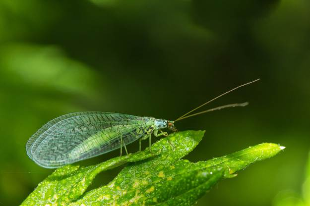 Lacewings   Beneficial Insects For The Garden: Good Bugs Vs. Bad Bugs