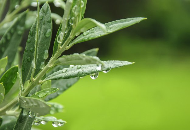 olive leaves | Triple A's of Nature's Medicine: Antiviral ~ Antibacterial~ Antibiotic