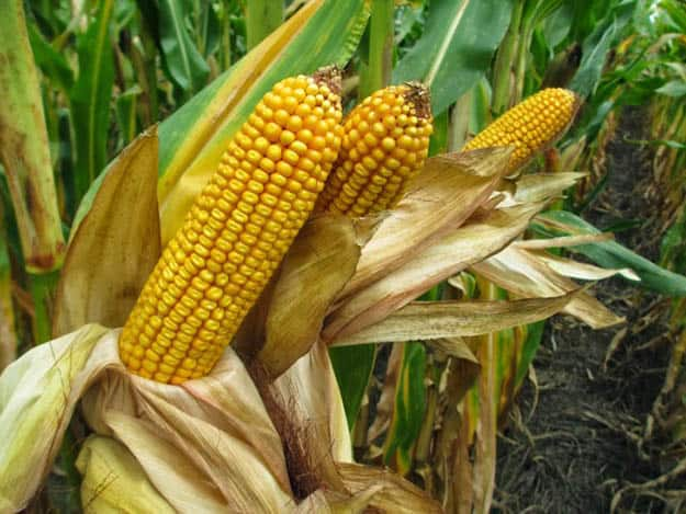 Grain Corn | 20 Survival Gardening Plants For Spring