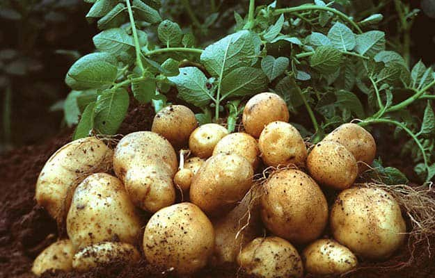 Potatoes | 20 Survival Gardening Plants For Spring