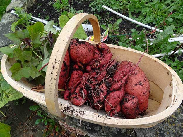 Sweet Potatoes | 20 Survival Gardening Plants For Spring