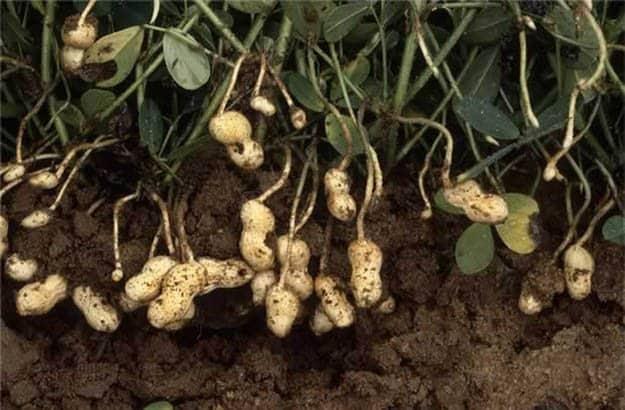 Peanuts | 20 Survival Gardening Plants For Spring