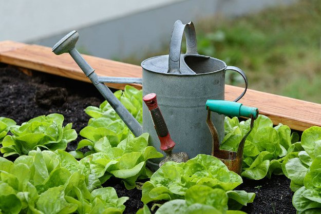 Caring For Your Lettuce Plants | Survival Gardening - How To Grow Lettuce Indoors