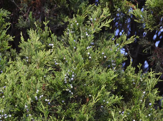 Take Advantage of the Leaves | Create A Shelter Out of A Juniper Tree for Survival