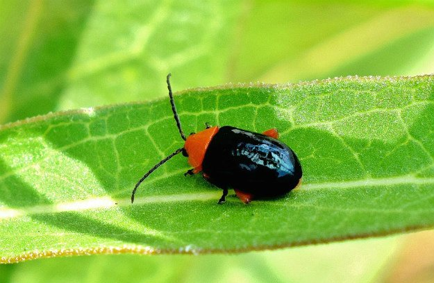 Flea Beetles | Survival Gardening - Growing The Perfect Peppers