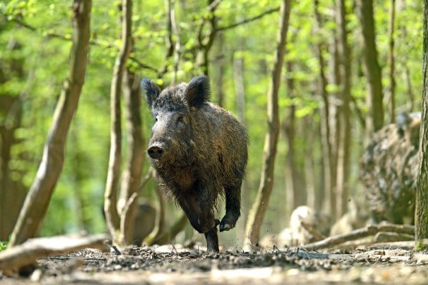 Wild Hog Hunting | Help Your Local Farmers While Bringing Home The Bacon