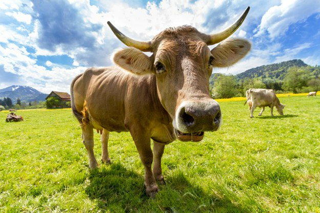Land Must be Suitable for Grazing | Tips for Raising Healthy Cattle