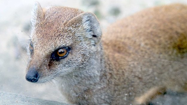 Weasel | How To Identify & Stop The 8 Top Predators That Prowl Your Homestead
