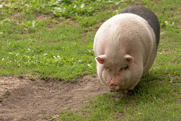 Don't Overfeed Them | Tips for Raising Healthy Pigs