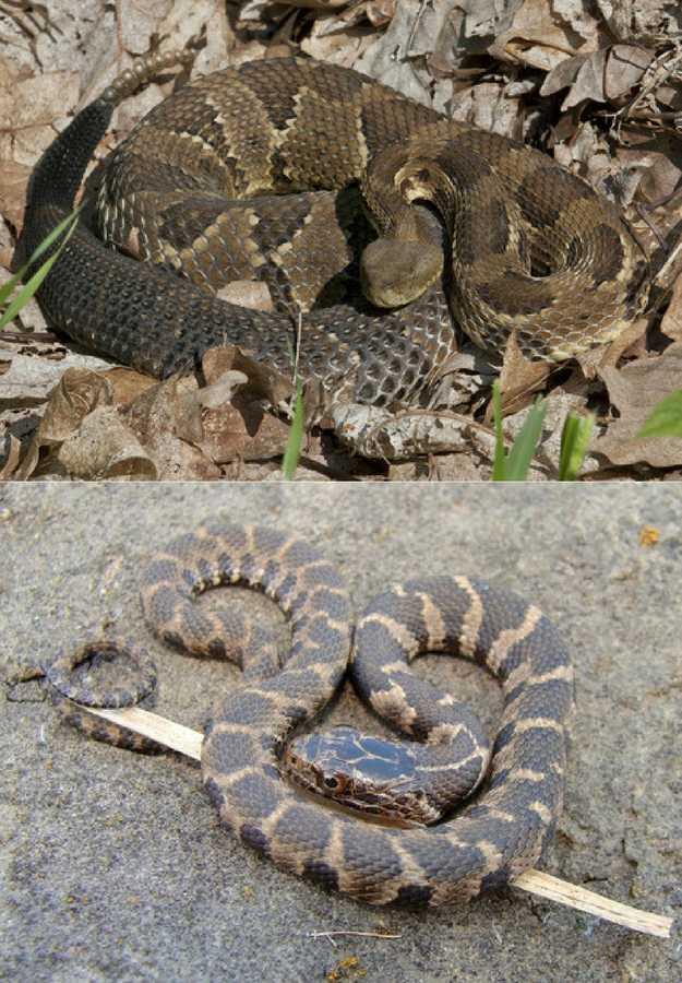 Timber Rattlesnakes | 5 Venomous Snakes & Their Look-Alikes