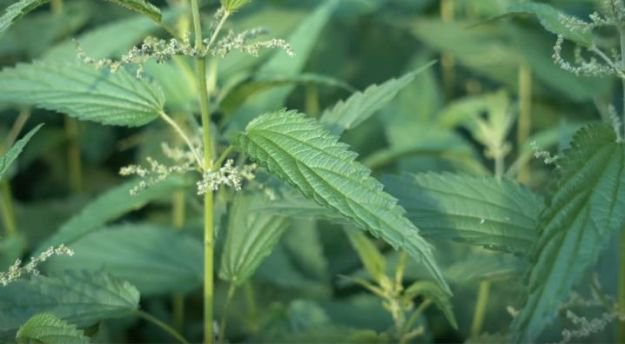 Stinging Nettle   Avoid Bacterial Infections   How To Eat In The Wild