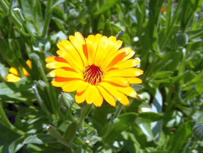 Pot Marigold | Medicinal Plants You Need To Make Natural Home Remedies | Survival Life | medicinal herb plants