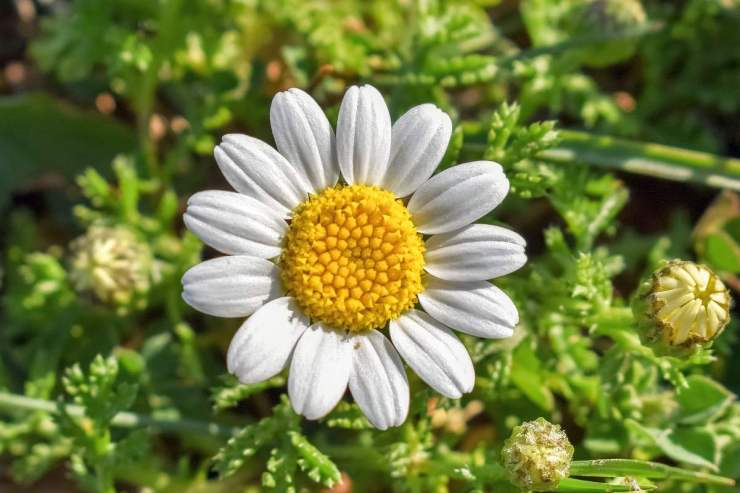 Chamomile | Medicinal Plants You Need To Make Natural Home Remedies | Survival Life | medicinal herb plants