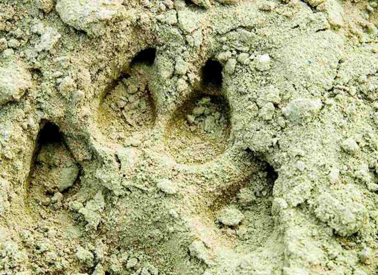 "Animal foot print | ""Old World"" Primitive Survival Skills You'll WISH You Knew Before SHTF"
