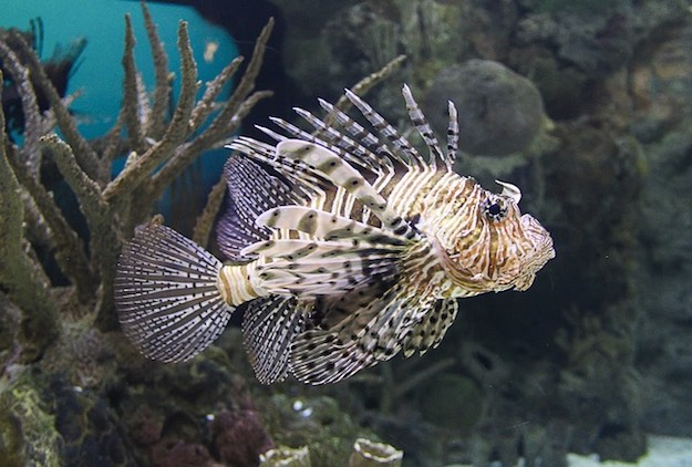 Lion Fish | Beach Animals To Watch Out For When On Vacation